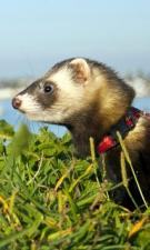 ferret on lead