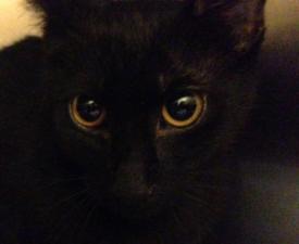 domestic black kitten