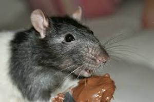 rat eating chocolate