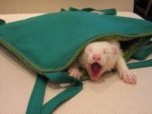 ferret in bed