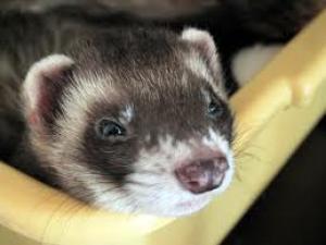 sleepy ferret