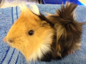 guinea pig breed