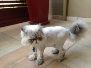 pushkin groomed cat