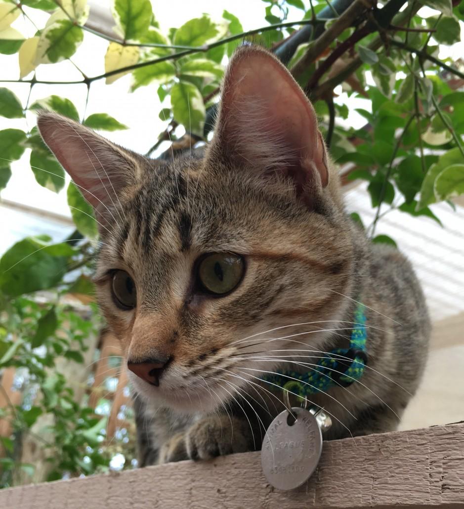 Tabby domestic cat