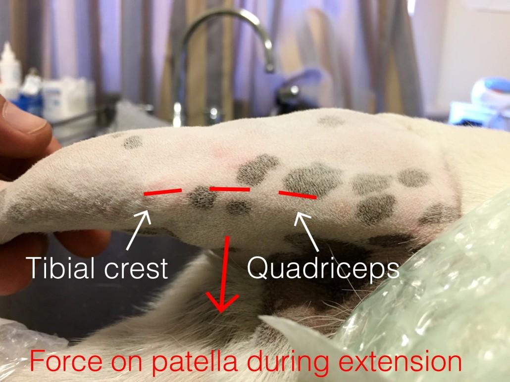 Patellar luxation diagram