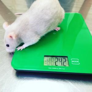 rat on scales