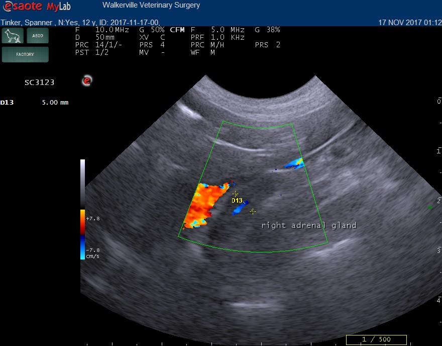 dog adrenal ultrasound