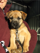 puppy border terrier