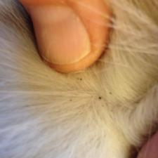 flea dirt in a cat