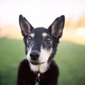 alert old dog