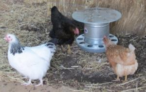 chickens at feeder