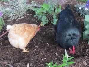 chickens scratching in garden
