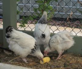 pullets eating corn