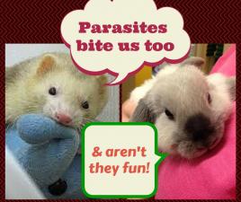 rabbit ferret parasites