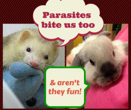 ferret rabbit parasites