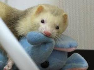 ferret with toy