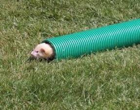 ferret in tube