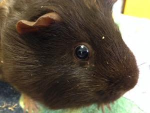 Guinea Pig Care Advice | Feeding Guinea Pigs | Walkerville Vet