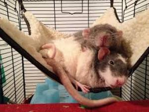 rats sleeping hammock