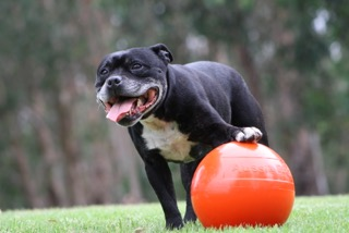 Staffie Ball
