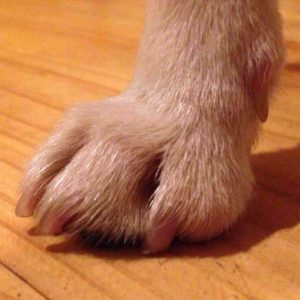 jack russell foot