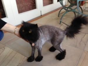 meshky groomed cat