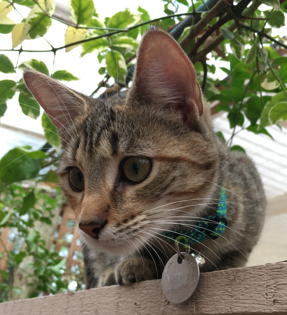 Pictures Of 30 Cat Breeds Available In Adelaide