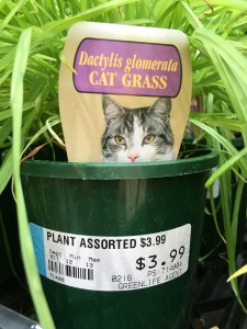 edible cat grass