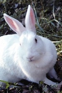 NewZealand White Rabbit