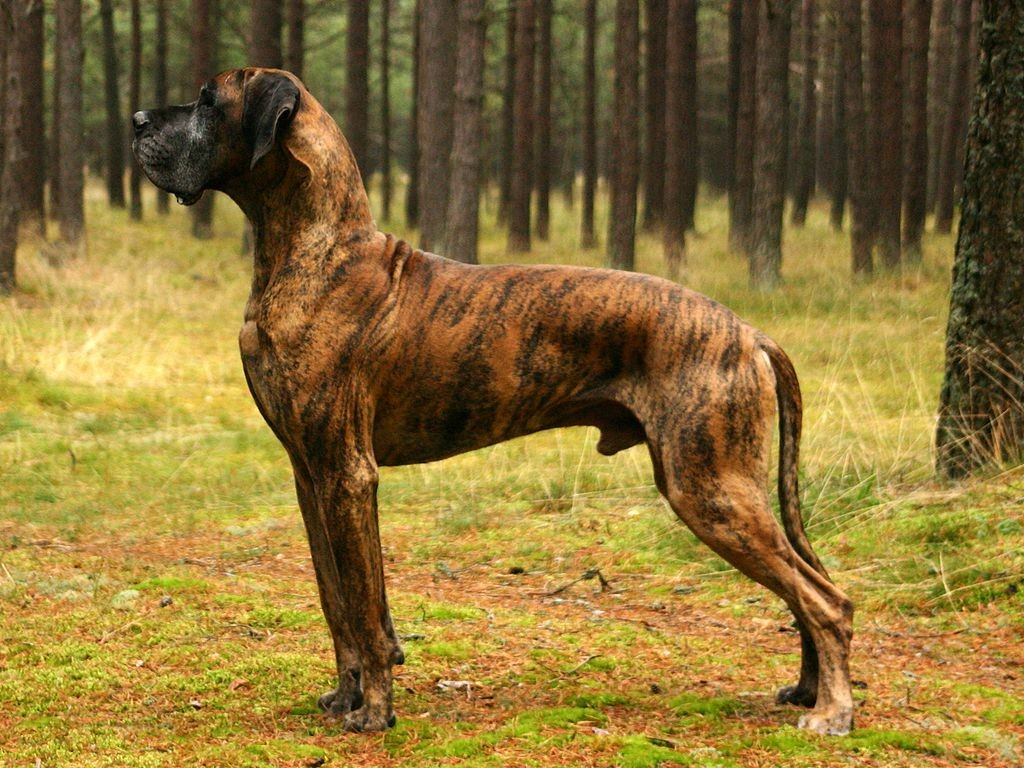 great dane brindel