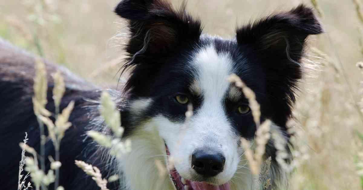 collie in grass