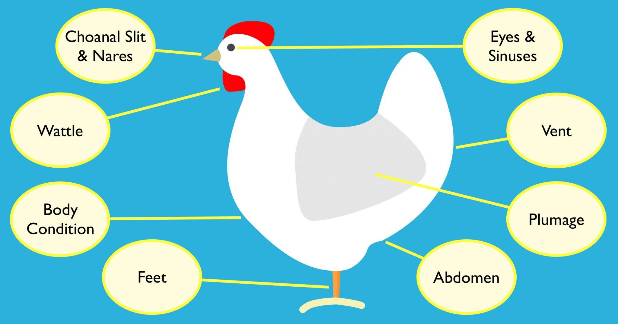 chicken health infographic