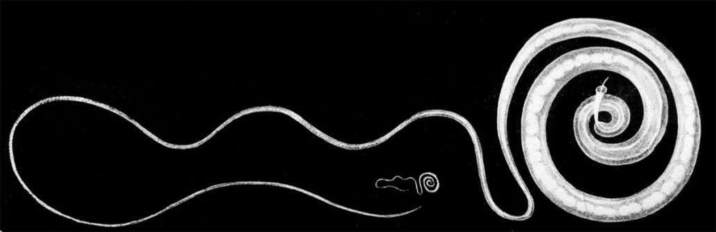 trichuris species whipworm