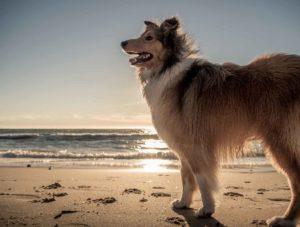 dog Adelaide beach