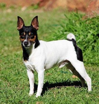Tenterfield Terrier Walkerville Vet