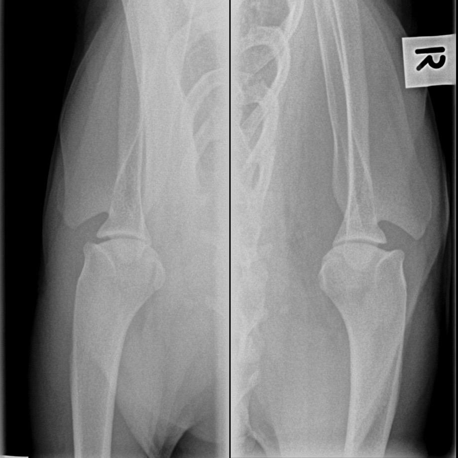 dog shoulder fracture