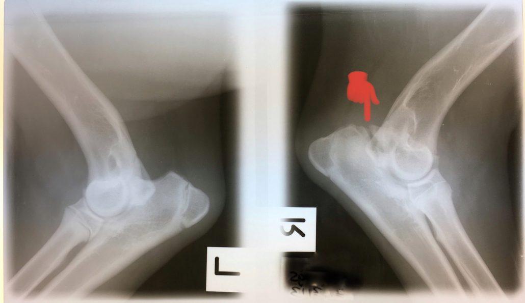 puppy elbow problem