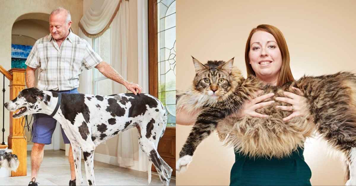 Maine Coon Great Dane