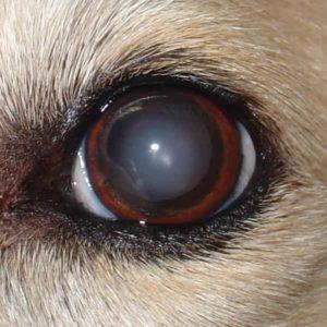 dog lenticular sclerosis