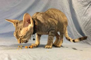 cat chewing food