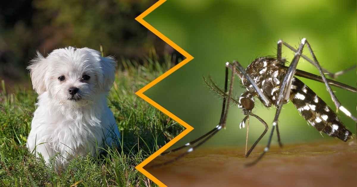 maltese and mosquito