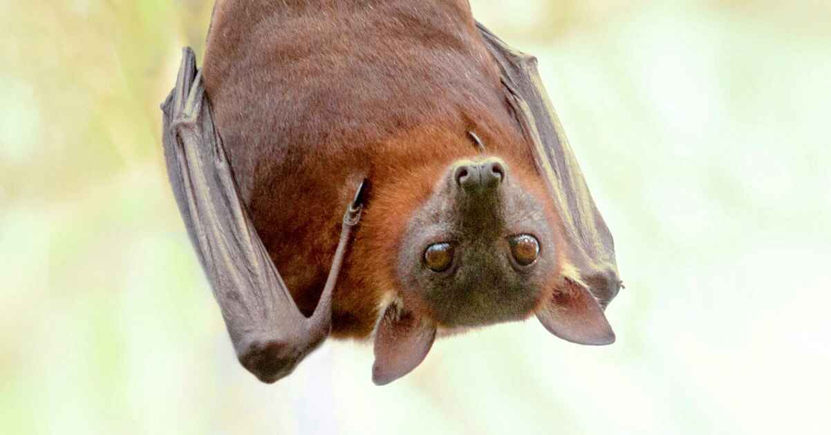 adelaide bat species