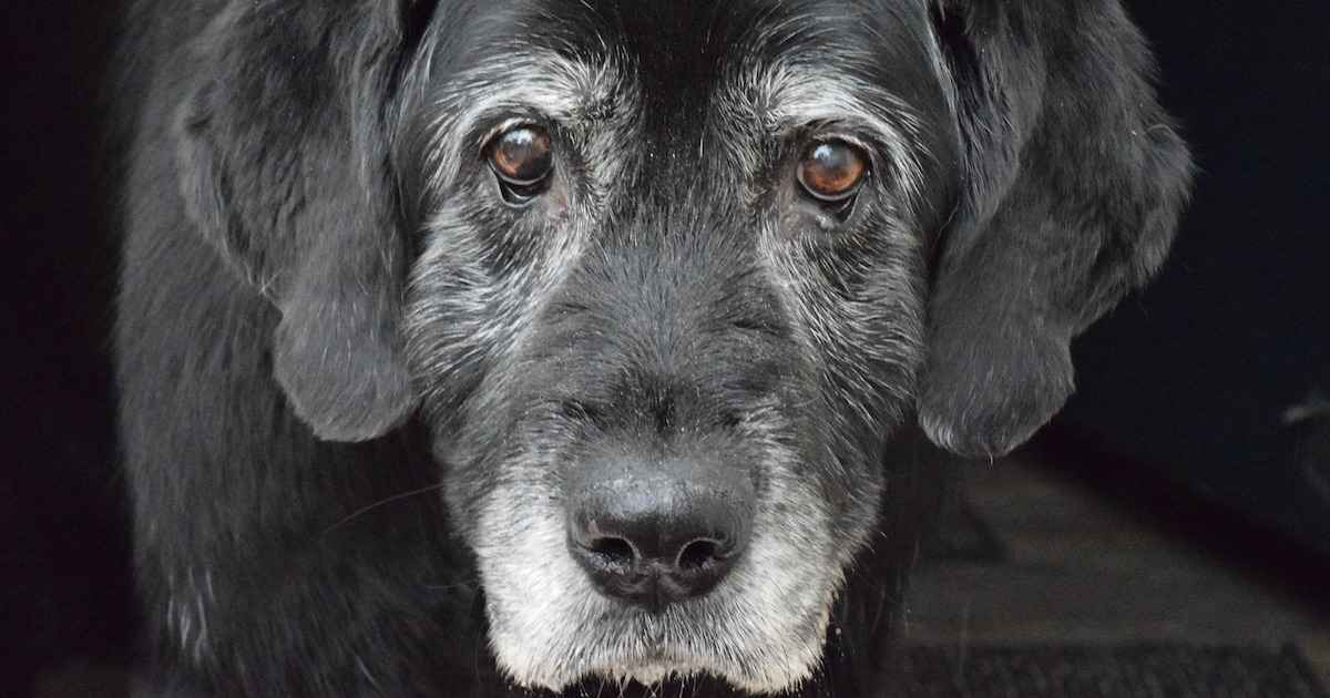 How You Can Help A Dog With Arthritis or Pain | Walkerville Vet