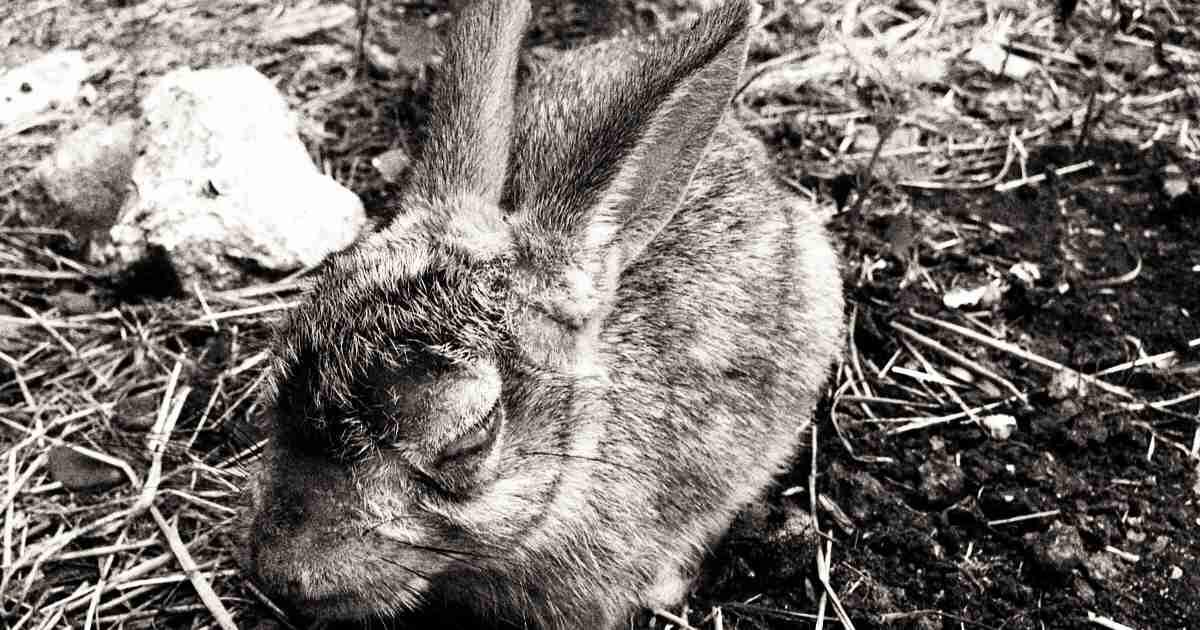 wild rabbit myxomatosis