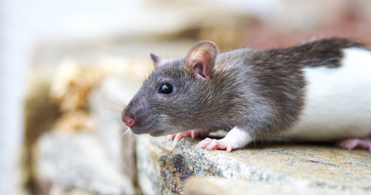 rat mice care advice tips for rats mice walkerville vet