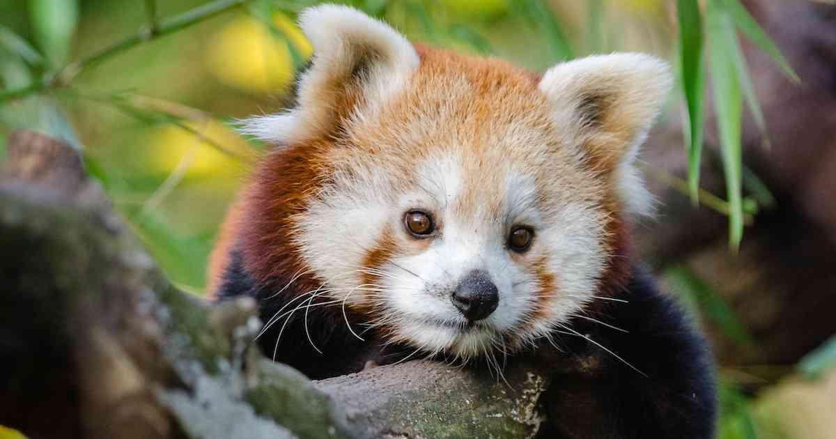 resting red panda