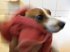 dog being dried