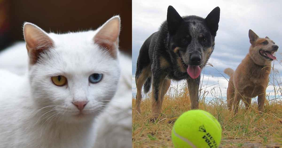 breeds with deafness