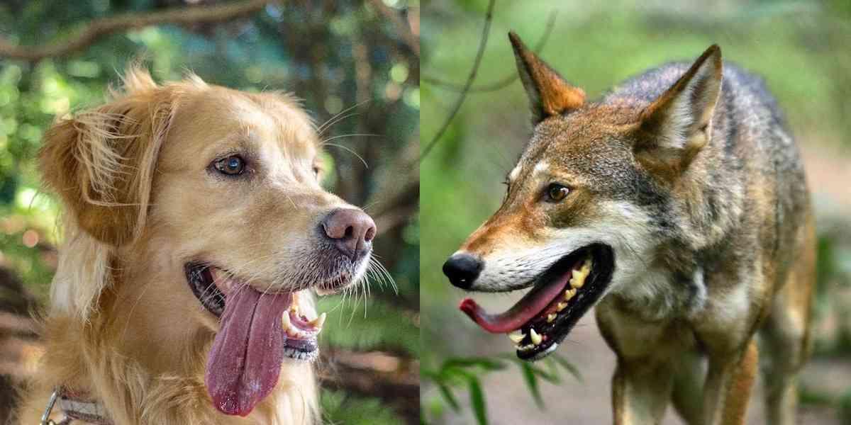 dog wolf comparison