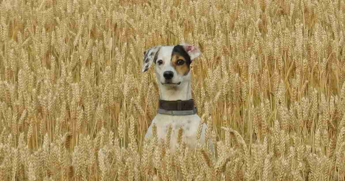 dog wheat field